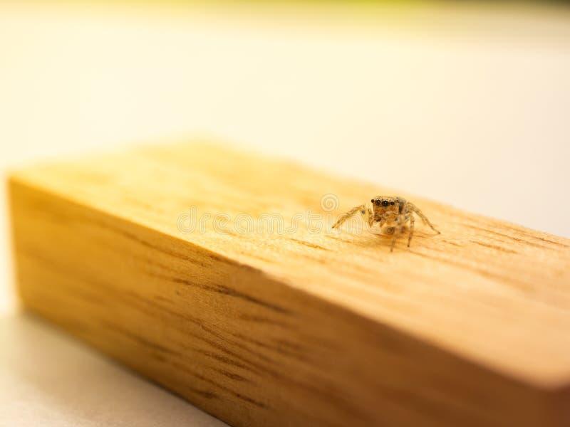 Aranha de salto no bloco de madeira foto de stock