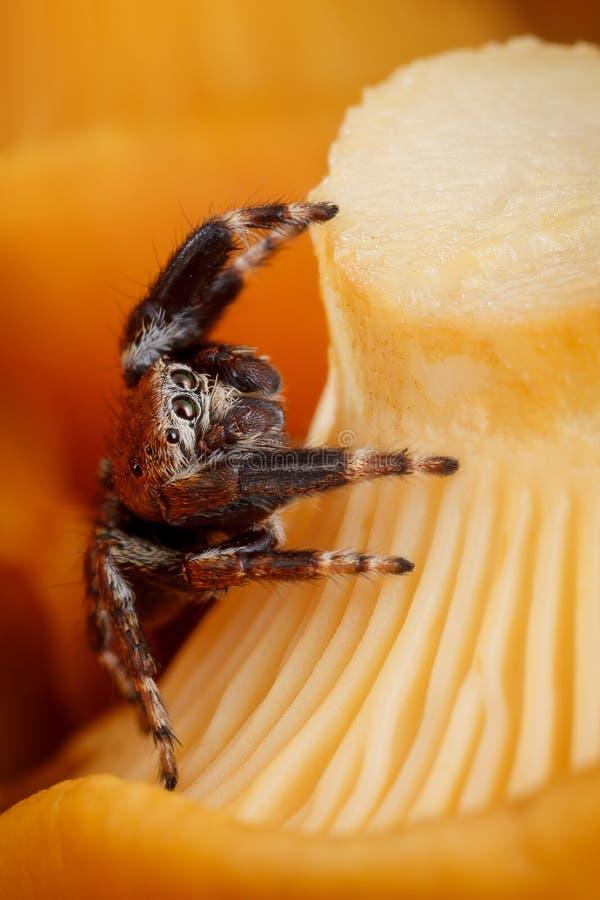 Aranha de salto no fundo amarelo do cogumelo da prima fotos de stock royalty free