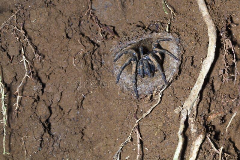 Aranha do alçapão imagens de stock