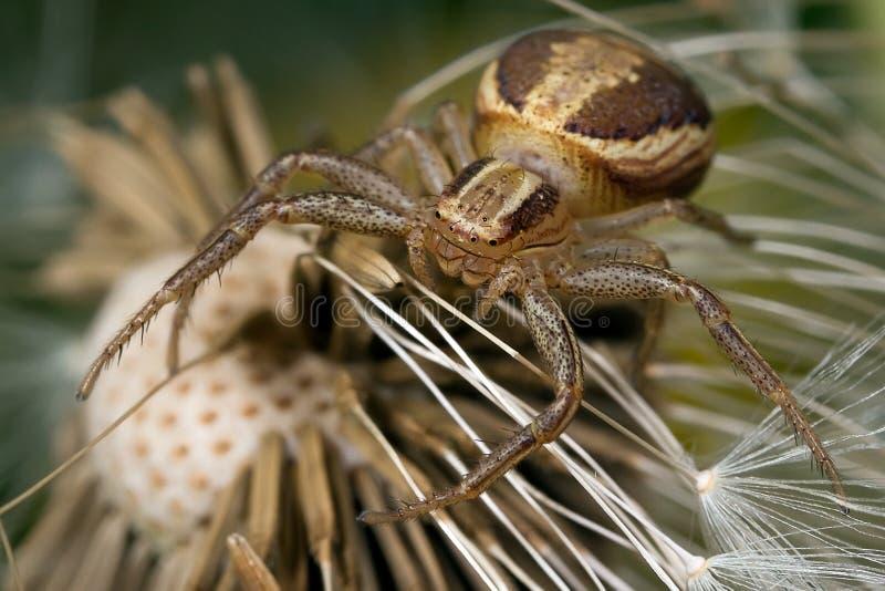 Aranha do caranguejo imagem de stock