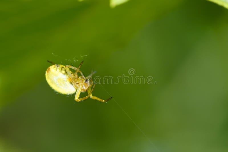 Aranha do caranguejo foto de stock royalty free