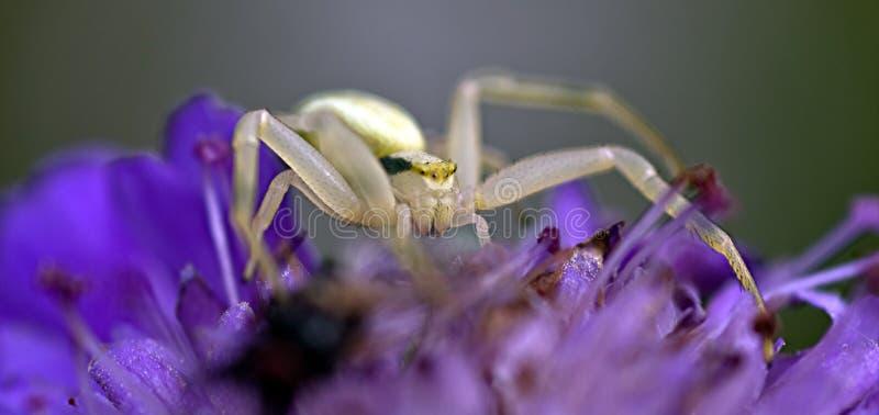 Aranha do caranguejo imagens de stock