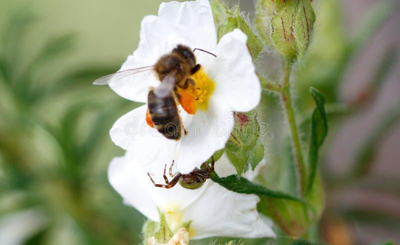 Aranha do globosum de Synema que desengaça uma abelha do mel foto de stock