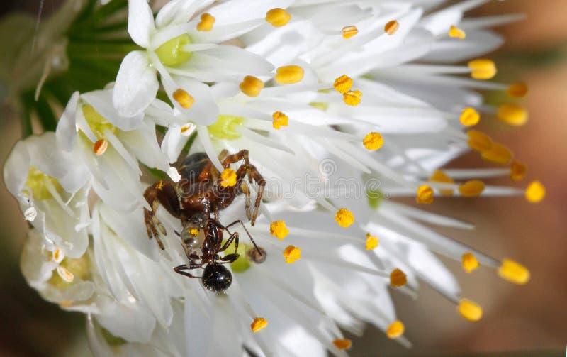 Aranha do globusum de Synama que devora a rapina prendida sobre uma flor imagem de stock
