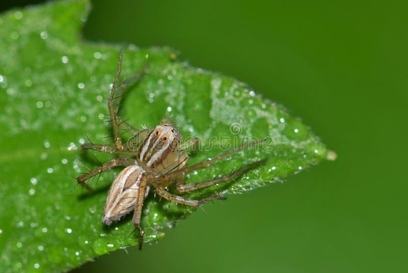 Aranha do lince pronta à emboscada fotos de stock