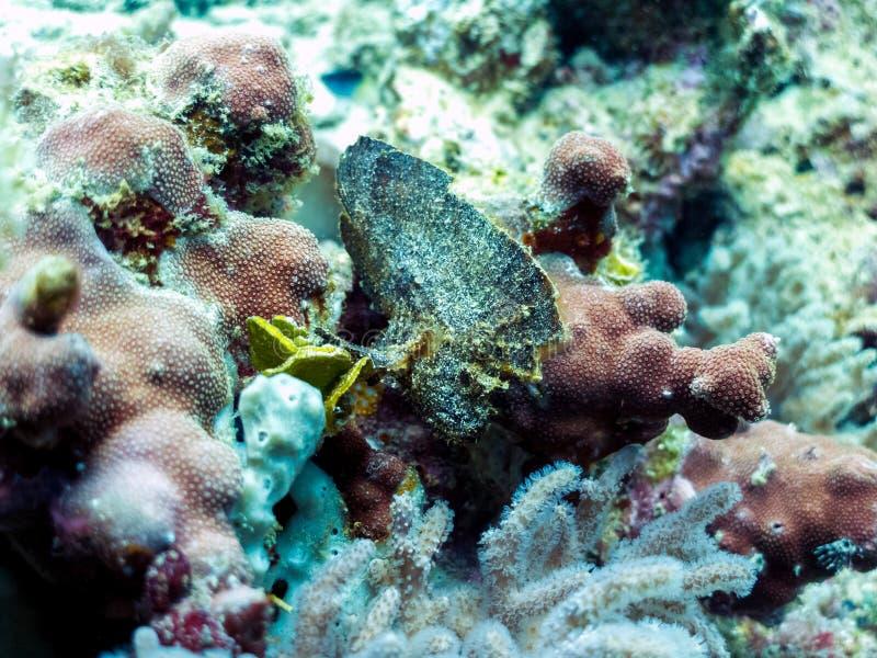 Aranha-do-mar da folha - peçonhento, peixe estranho imagens de stock
