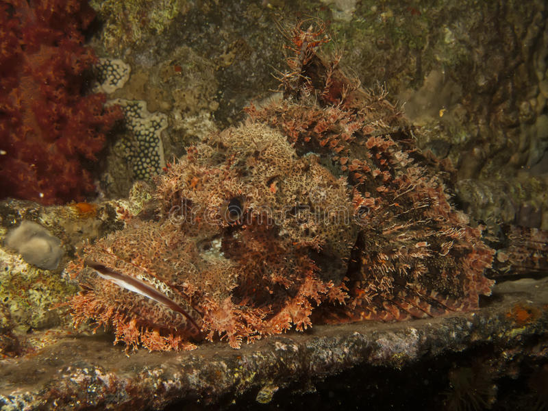 Aranha-do-mar em escala reduzida fotos de stock