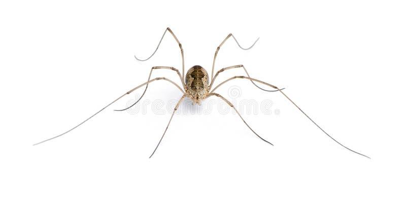 Aranha do Opiliones na frente do fundo branco imagem de stock