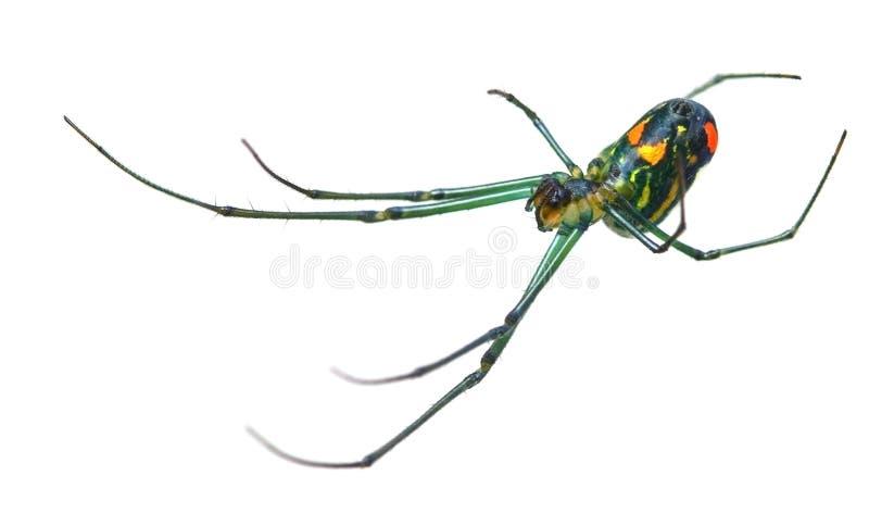 Aranha do orbweaver do pomar fotografia de stock