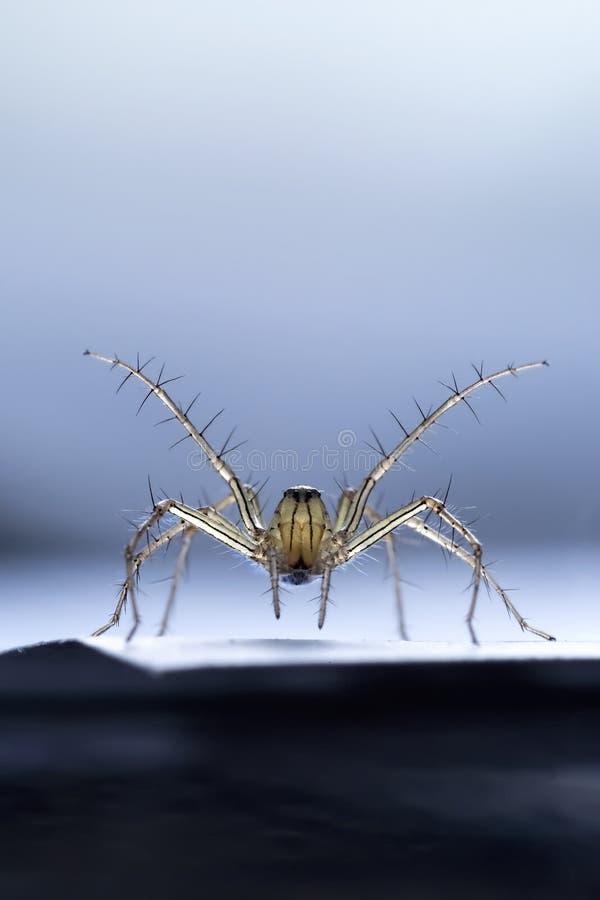 a aranha do salto está pronta para lutar imagens de stock royalty free