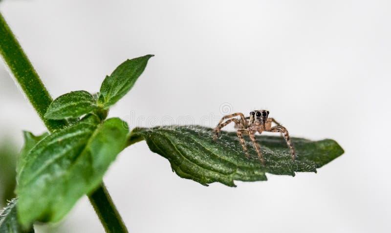 Aranha do salto na folha da hortelã imagens de stock