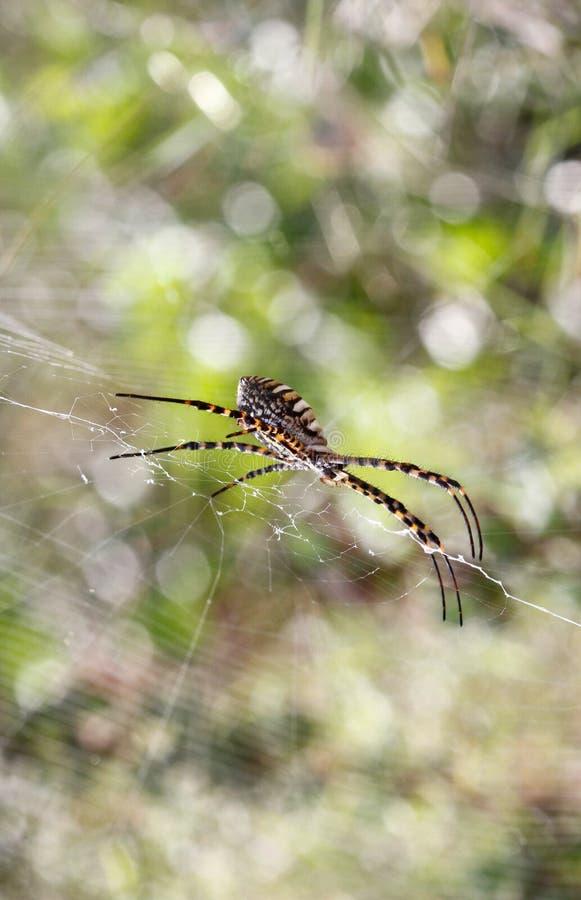 Aranha do trifasciata do Argiope que está na Web imagens de stock royalty free