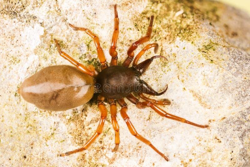 Aranha do Woodlouse, ca?ador do Woodlouse, aranha, crocata de Dysdera imagens de stock