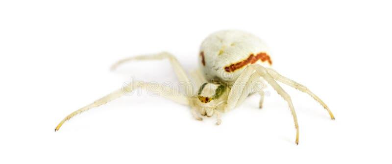 Aranha dourada do caranguejo imagens de stock royalty free