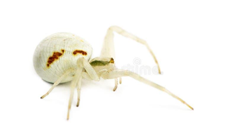 Aranha dourada do caranguejo imagens de stock