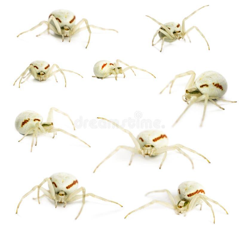 Aranha dourada do caranguejo, vatia de Misumena na frente de um backgroun branco fotos de stock