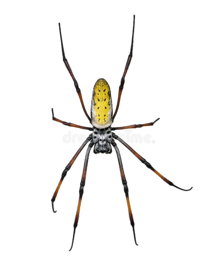 Aranha dourada do esfera-Web de encontro ao fundo branco foto de stock