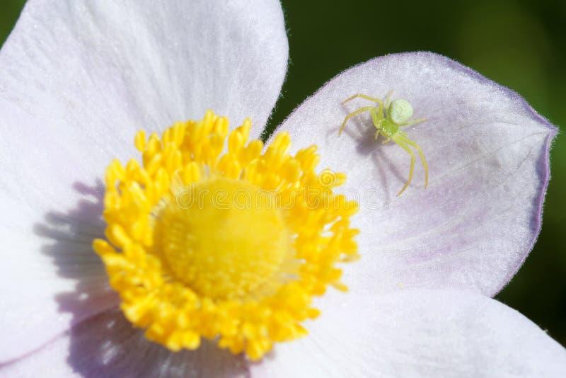 Aranha e flor do caranguejo imagens de stock royalty free