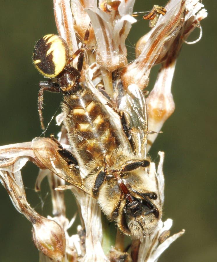 Aranha e rapina prendida de devoramento sobre um vertical da flor fotos de stock