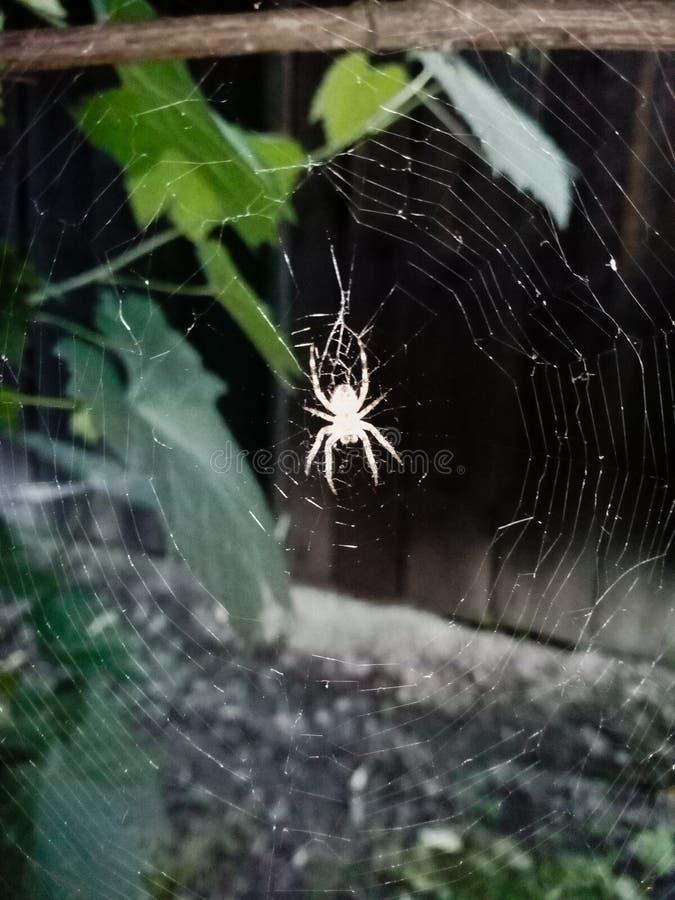 Aranha em sua Web de aranha, fotografada fora em um jardim, em Romênia imagem de stock