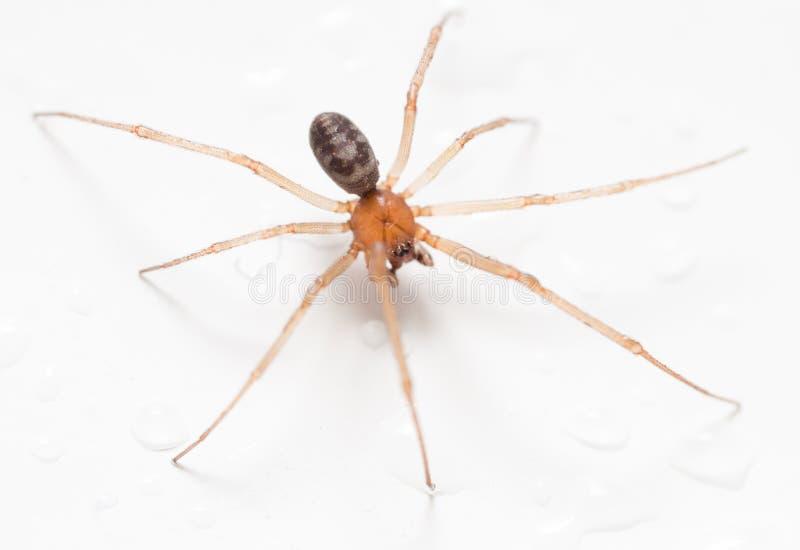 A aranha em um fundo branco com água deixa cair fotografia de stock royalty free