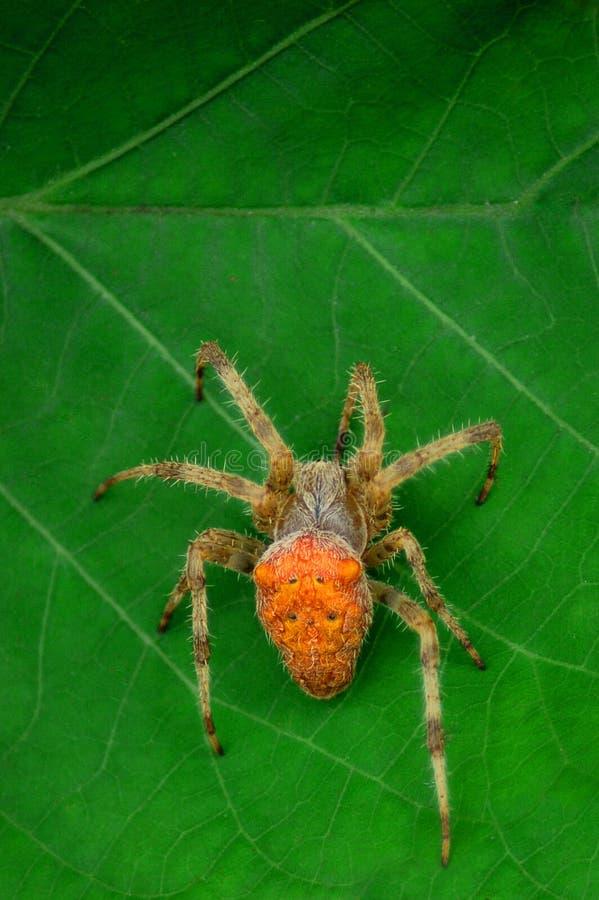 Aranha em uma folha fotografia de stock