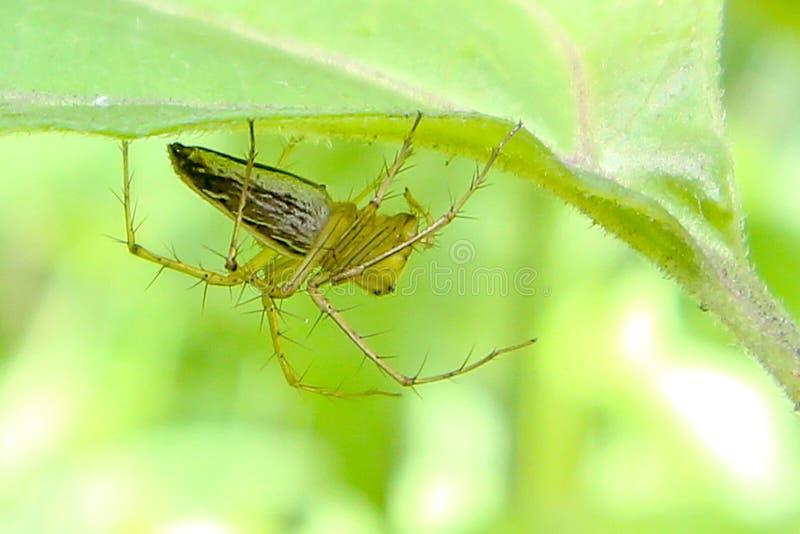 A aranha está sob a folha verde, tiro macro fotografia de stock royalty free