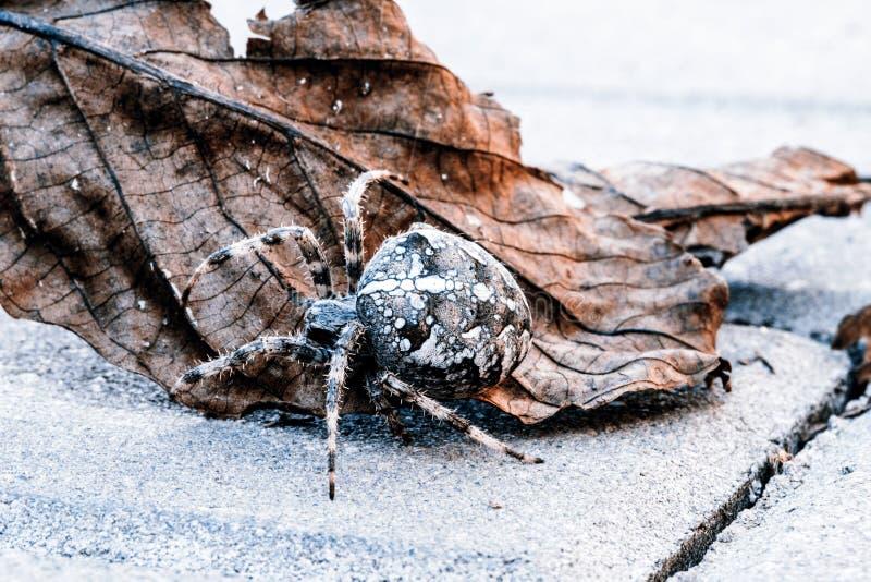 Download Aranha Grande Da Esfera Na Folha Foto de Stock - Imagem de europeu, selvagem: 65575652