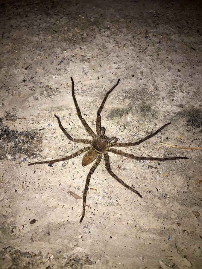 Aranha grande no assoalho concreto na noite é um oito predatórios equipados com pernas fotografia de stock