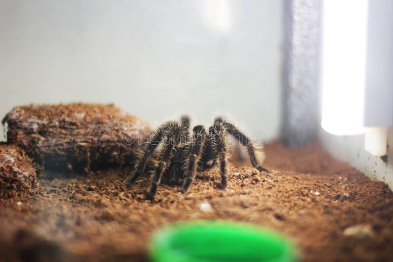 Aranha grande no terrarium fotografia de stock