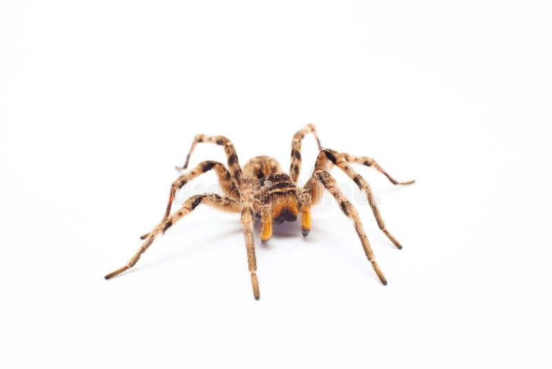 Aranha isolada imagens de stock