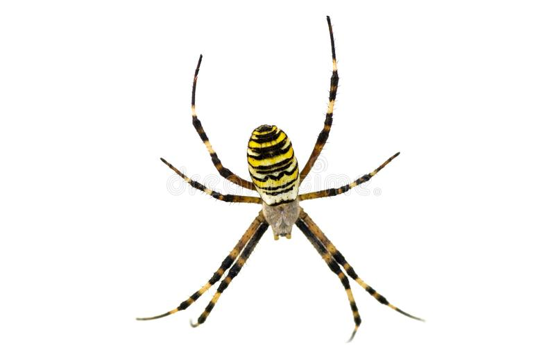Aranha isolada no branco fotografia de stock