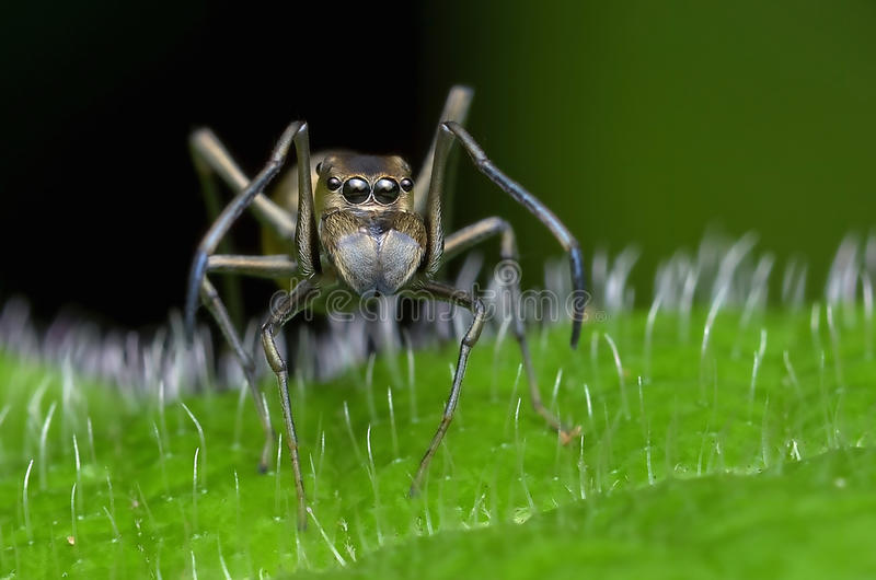 Aranha mímica da formiga imagem de stock