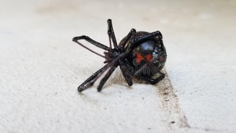 Aranha mortal da viúva negra fotos de stock royalty free