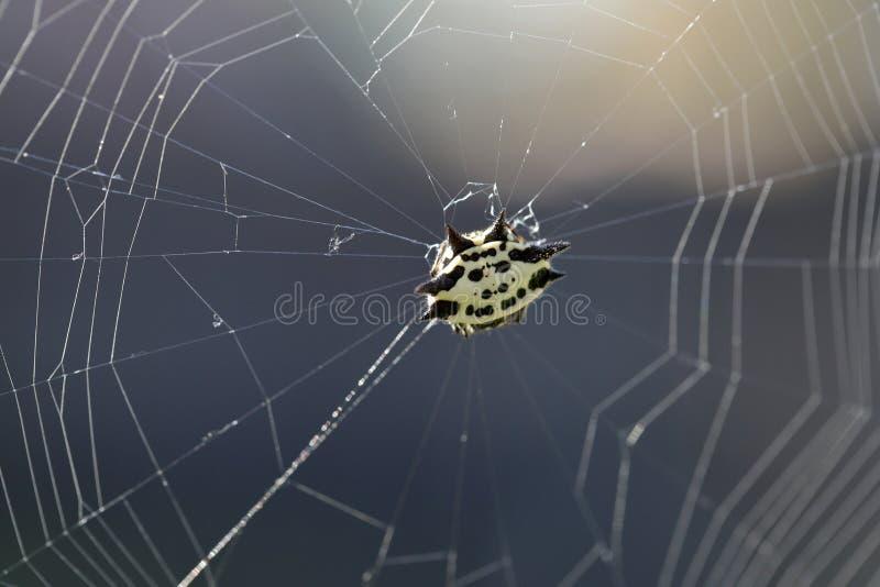 Aranha na Web, contra a luz solar foto de stock royalty free