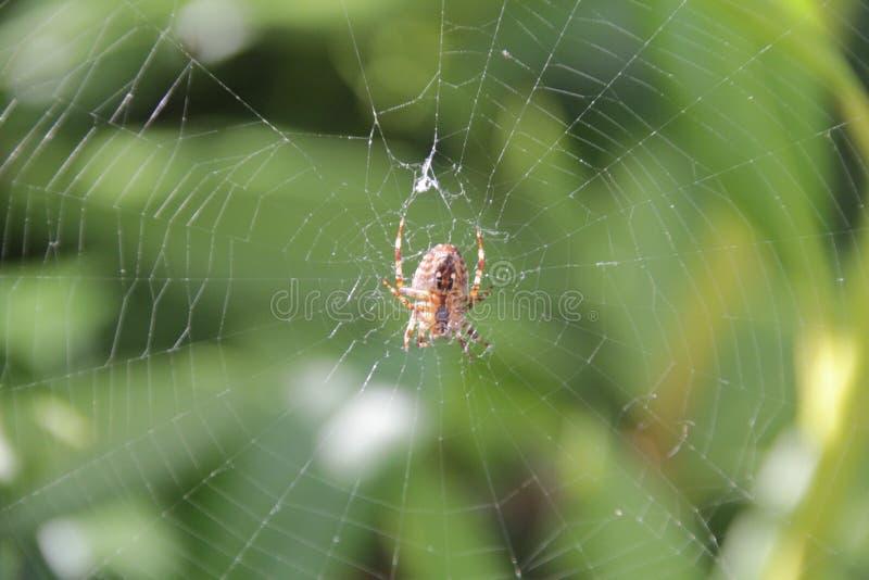 Aranha no Web imagem de stock