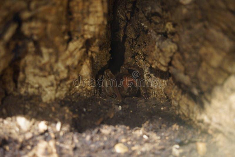 Aranha Pássaro-comer do colosso - blondi de Theraphosa foto de stock royalty free