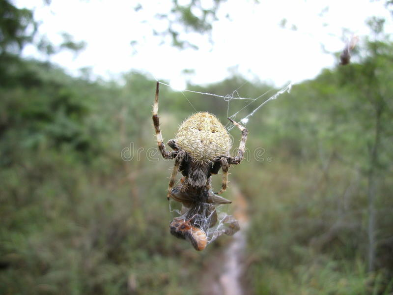 Aranha peludo em sua Web com a rapina em Suazilândia imagens de stock