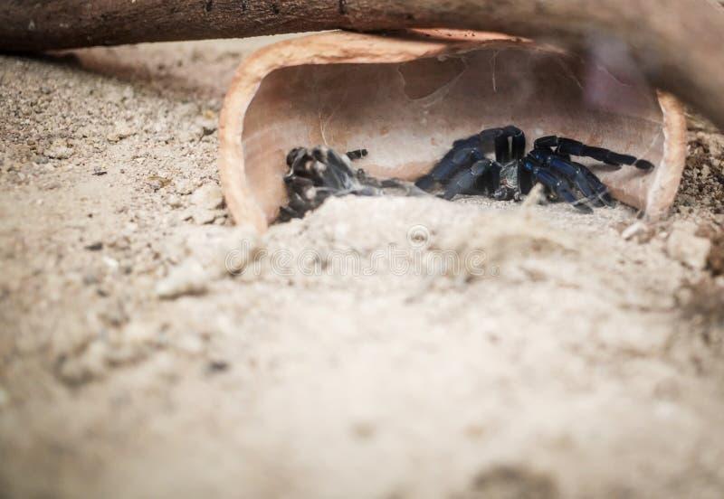 Aranha preta na areia fotos de stock