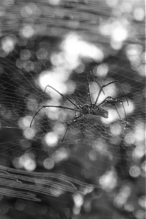 Aranha preto e branco e Web imagens de stock royalty free