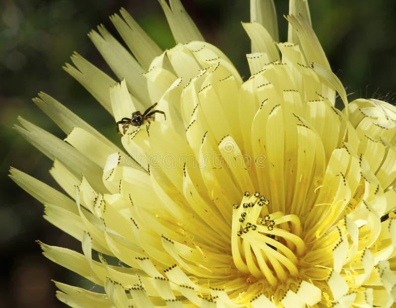 Aranha que awiting para uma rapina que está sobre uma flor fotografia de stock