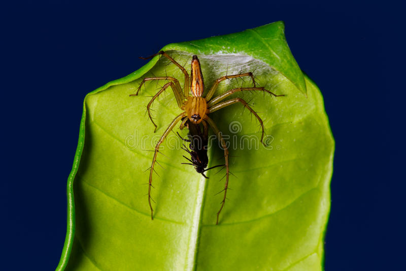 Aranha que come o erro na folha foto de stock
