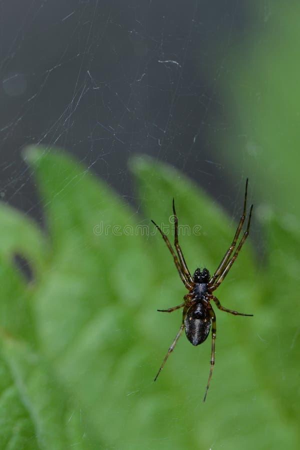 Aranha que espera a vítima fotografia de stock royalty free