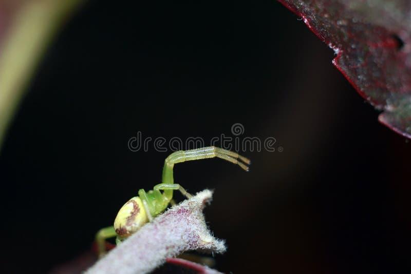 Aranha verde na caça imagem de stock royalty free