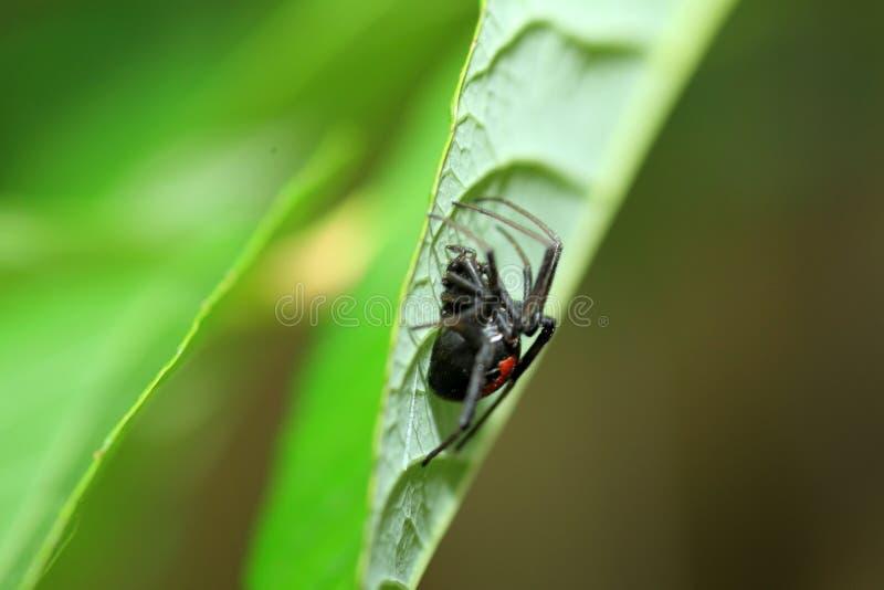 Aranha vermelha-para trás da viúva foto de stock royalty free