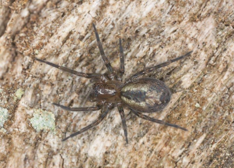 Aranha webbed do laço (fenestralis de Amaurobius) imagem de stock