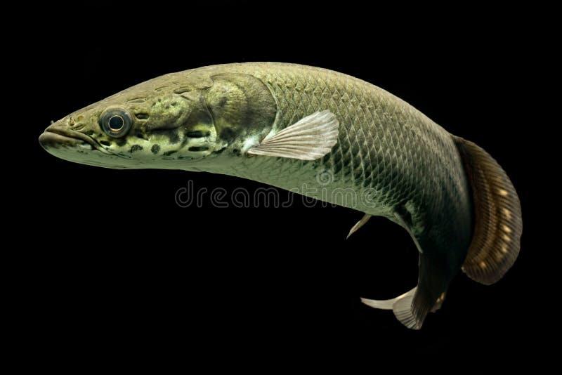 Arapaima ένα από τα μεγαλύτερα του γλυκού νερού ψάρια στοκ εικόνες