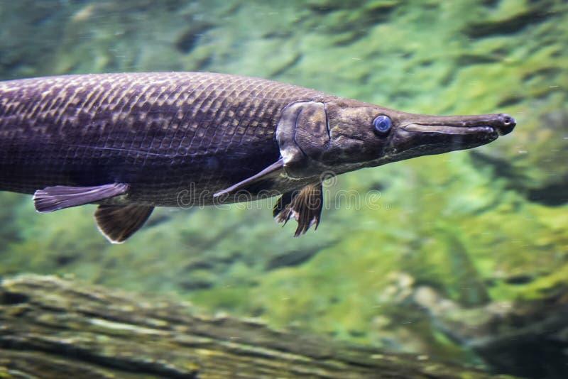 Arapaima fish stock image