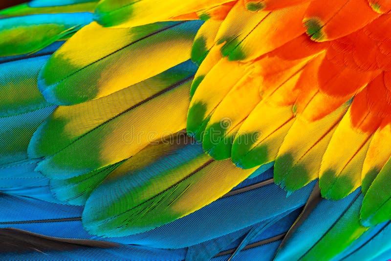 Arapapegojafjädrar med röda gula orange blått för naturbakgrund royaltyfria bilder