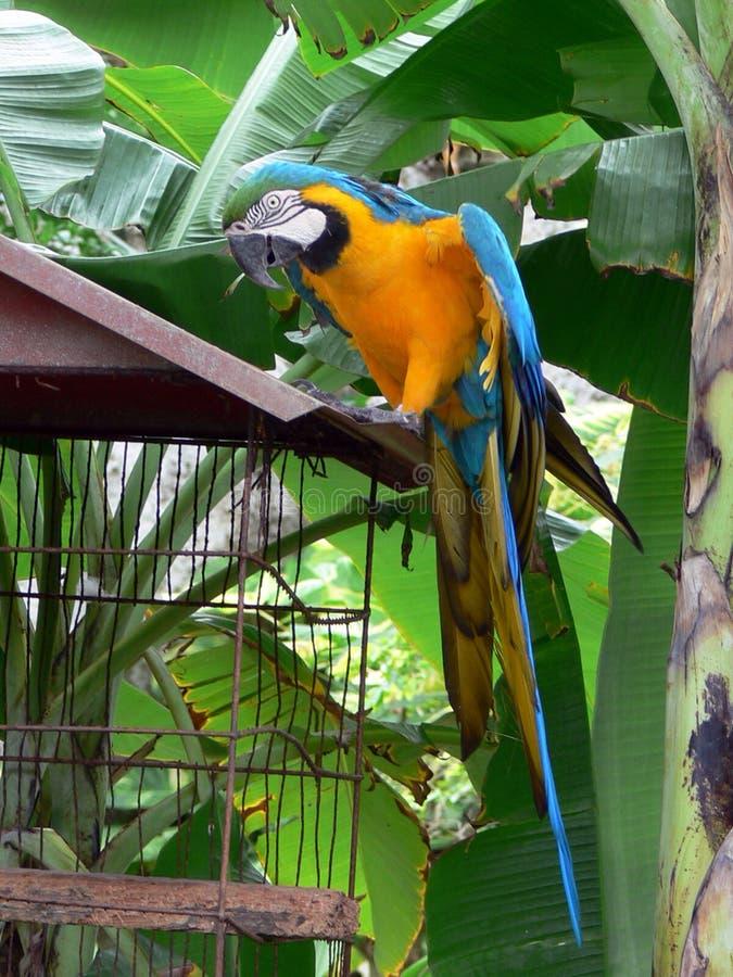 Arara. Yellow Arara - brazilian tropical bird stock photography